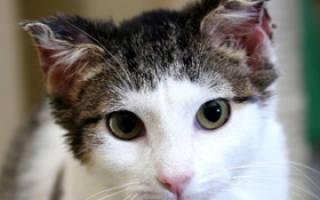 Что делать если кошка отморозила уши