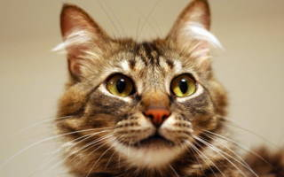 Лямблии у кошек лечение и симптомы лямблиоза
