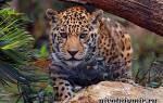 Животное ягуар в неволе