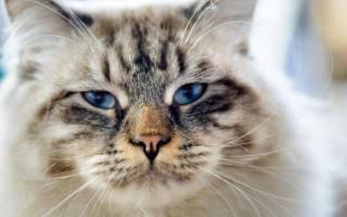 Кошка Рагамаффин внешний вид характер