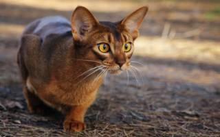 Абиссинская кошка окрас голубой