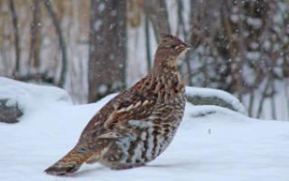 Обитание и кормежка рябчика зимой