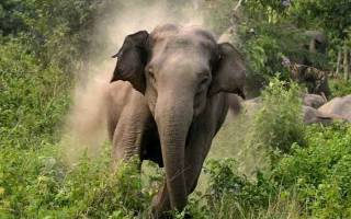 Нападение слонов на людей причины