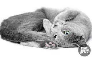 Русская голубая кошка характер питомца
