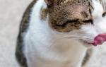 Внезапные приступы рвоты у кошек