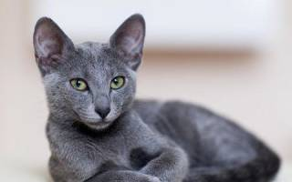 Как ухаживать за русской голубой кошкой
