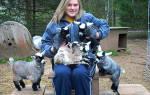 Карликовые козы описание особенности