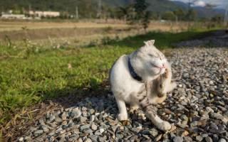 Что делать если у кота грибок в ушах