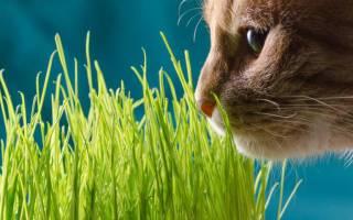 Трава для кошек полезная в вредная
