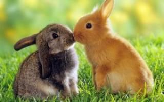 Рана у кролика на ухе что делать
