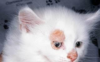 Симптомы лишая у кошки и опасно заболевания