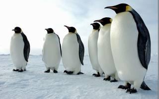 Самый большой пингвин