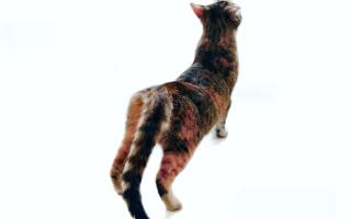 Течка у кошек — что важно знать