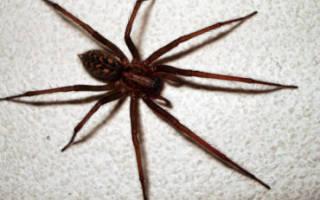 Домашние пауки ядовитые