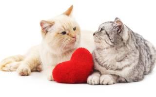 Почему кошка орт когда просит кота