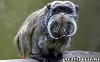 Где обитает обезьяна тамарин
