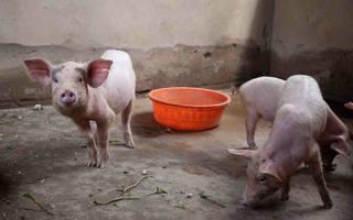 Свинарник своими руками: строительство сарая