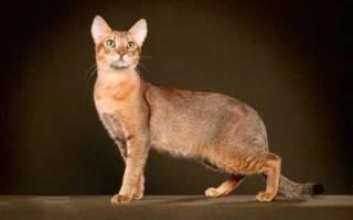 Чаузи описание породы и характера кошек