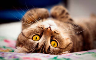Когда у кошек начинается первая течка