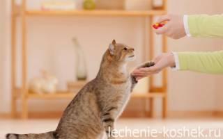 Дрессировка кошек обучение командам