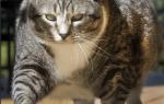 Артрит у кошек симптомы и лечение