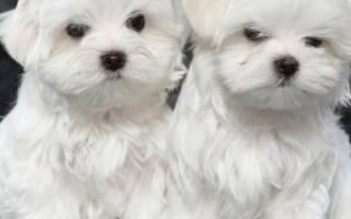 Как выбрать щенка мальтийской болонки
