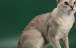 Кошка Сингапура внешний вид уход разведение