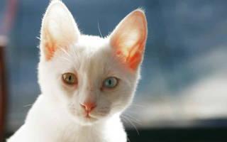 Энтерит у кошек и котов: симптомы и лечение