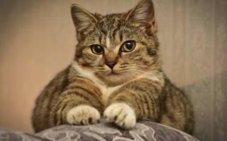 Пиодермия у котов и кошек