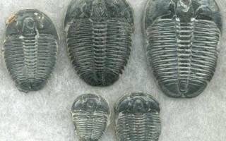 Первые животные на земле кто такие трилобиты