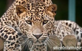 Как живет леопард в природе