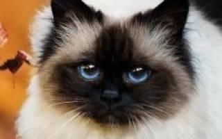 Все о бирманских кошках и уходе за ними