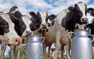 Правда ли что корова пьет молоко