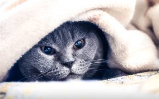 Как лечить ангину у кошки в домашних условиях