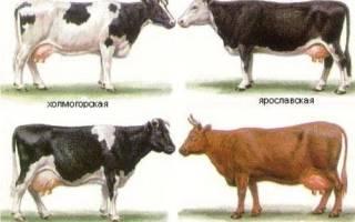 Породы коров в Украине и других странах