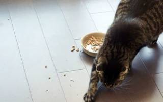 Для чего кошка закапывает миску с едой
