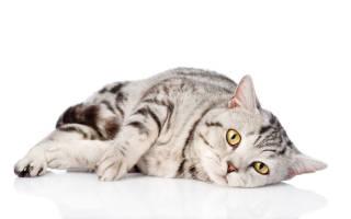 Вирусный лейкоз и иммунодефицит кошек