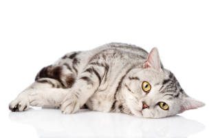 Вирус иммунодефицита кошек ВИК